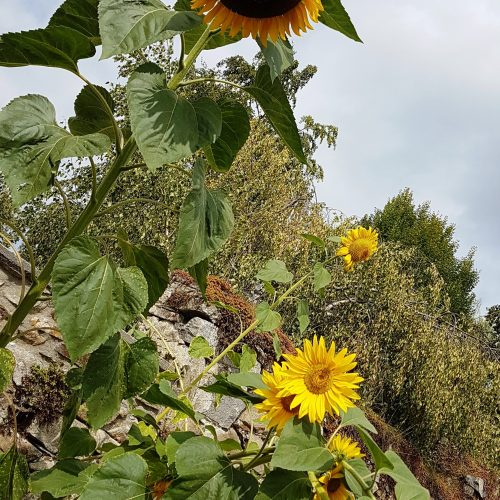 zahrada nebespan slunecnice